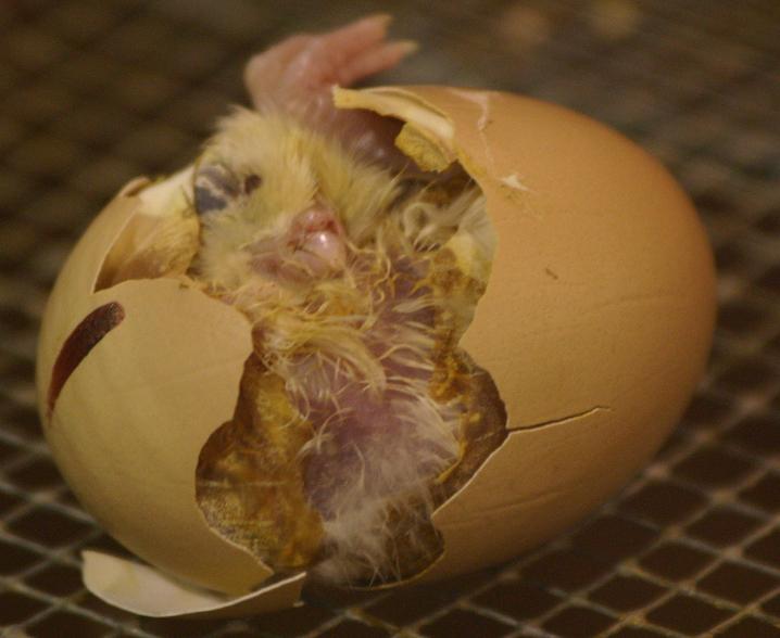 Woman Egg-Rahasyamaya